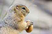 pic of gopher  - Attractive gopher holding the bagel in his claws on the rock by summer - JPG