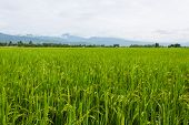 Mountain And Green Rice Field In Thailand