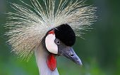Close-up view of a Black Crowned Crane
