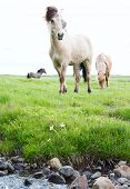 stock photo of breed horse  - Wild Icelandic horses beautiful animals in green pasture low point of view this horse breed only lives in Iceland - JPG