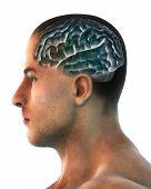 Anatomia do cérebro humano