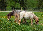 Pair paint pony grazing on pasture