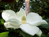 stock photo of magnolia  - Magnolia Grandiflora aka Bullbay or Southern Magnolia - JPG