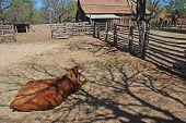 image of split rail fence  - Jersey cow in foreground of old barn and a farm house in West Texas - JPG