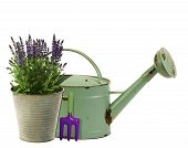 Lavender In A Flower Bucket With Watering Can In Background
