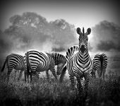 picture of herd  - Artistic black and white image of a male zebra with the herd in the background - JPG
