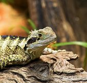 Bearded Dragon lizard close up