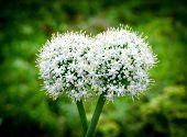 Knoblauch-Blumen