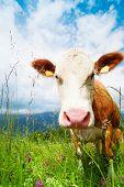 Focinho da vaca