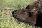 Bison's Warning