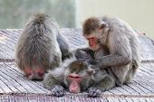 stock photo of macaque  - A group of Japanese macaques monkey (Macaca fuscata) grooming and relaxing