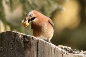 Eurasian Jay Eating Bread