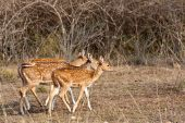 Axis Deer In Bandipur National Park