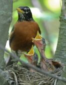 Robin With Two Chicks