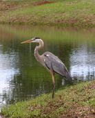 great blue heron at pond