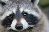 Raccoon close-up