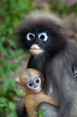 picture of baby-monkey  - Monkey Mother And Her Baby ( Presbytis Obscura Reid ) on tree.