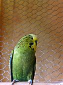 Olive Green/Yellow male Budgie