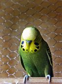 Olive Green male Budgie