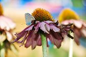 Echinacea Purpurea With Small Butterfly