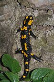 Fire Salamander On Rock