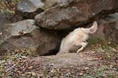 Blonde Wolf (Canis lupus) Dives Into Den