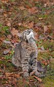 Bobcat Kitten (Lynx rufus) Looks Up