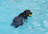 Black Dog With Yellow Ball In Water