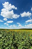 Sunflower Field With Cumulus Clouds