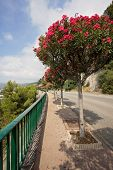 stock photo of tree lined street  - Street in France in Roquebrune near Monaco with blooming trees - JPG
