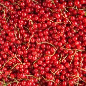 Red Currants Background