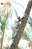 Man Climbing On Date Palm Tree In Oasis