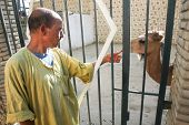 Man With Camel In Tozeur Zoo