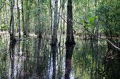 Birch Trunk Halfway Flooded Spring Flood Water