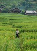 Kid Walking On The Rice Fields