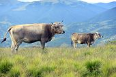Carpathian Cow