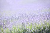 Backlit Lavender Field With Purple and Green