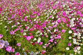 Beautiful Cosmos Flowers Field