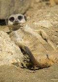 image of meerkats  - Meerkat resting on the sun and looking directly in the camera - JPG