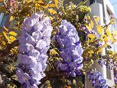 Purple Wisteria Plant