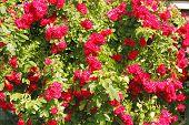 Flowering Climbing Rose