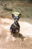 Black And Brown Chihuahua Dog