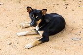 pic of stray dog  - Thai Stray Dog  - JPG
