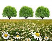 field of marguerites with tree on white background