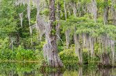 Spanish Moss In Trees