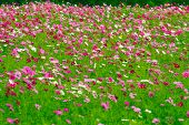 Cosmos Flower Field