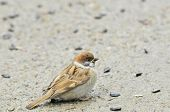Eurasian tree sparrow,chick. Sparrow pecks sunflower seeds.