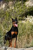 Doberman On The Nature
