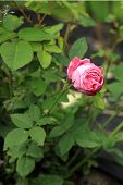 historic pink rose Louise Odier