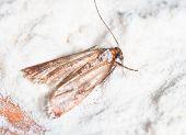 stock photo of moth  - a Flour Moth Pantry Moth  - JPG